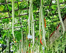 10Package : 4 Serpent Melon Seeds Trichothes Snake Gourd Organic Vegetables Long Beans