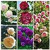 100 rosiers grimpants Seeds, 5 Différentes Couleurs mélangées, jardin des plantes de bricolage, #3