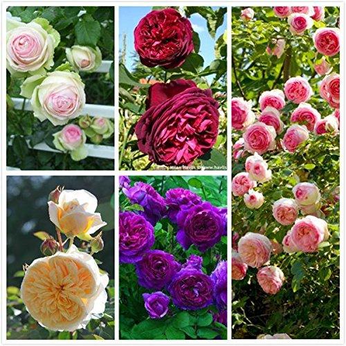 100 rosiers grimpants Seeds, 5 Différentes Couleurs mélangées, jardin des plantes de bricolage,