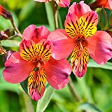 Pink Alstroemeria Eliane   Peruvian Lily - Princess Lily - 1 Lush Blooming Plant in 4' Container - Long-Lasting Pink Blooms - Great for Cutting   Ships from Easy to Grow TM