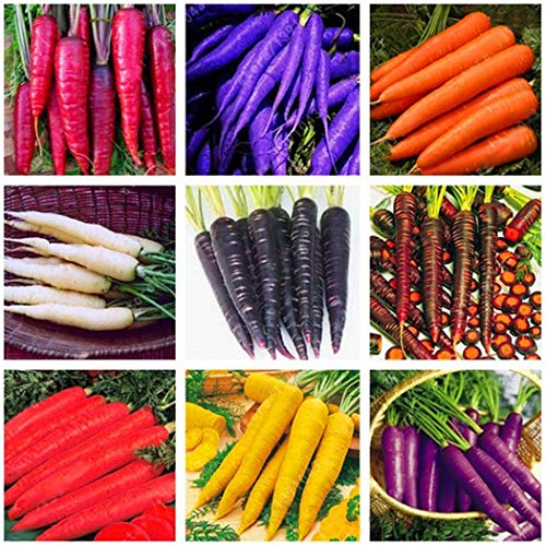 Xianjia Garten - Bio Möhren \'Regenbogen Mischung\' F1 Karotte-Mix Samen Salat- Gemüsemöhre Gemüsesamen winterhart mehrjährig für Garten Balkon/Terrasse (30)