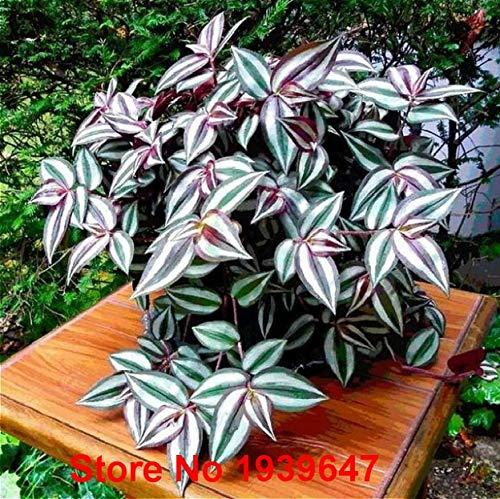 100pcs Calathea Bonsai Foliage Plant Bonsai Pot Full Variety Sprouting Rate 95% Four Seasons Planting Easy To Grow : Scarlet