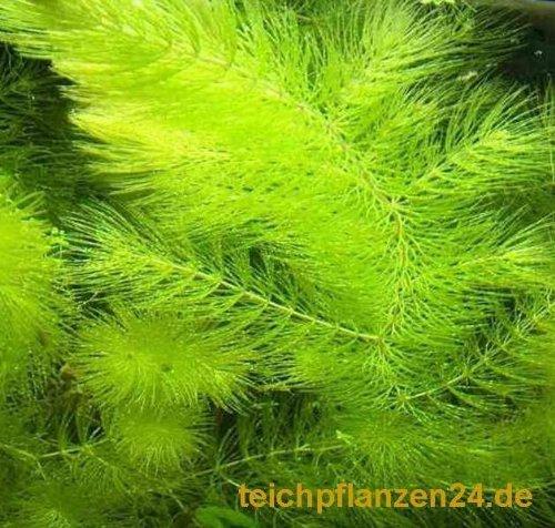 3 Bund/Portionen Hornkraut, Ceratophyllum demersum, für Teich