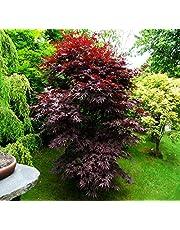 "Japoneses""Bloodgood"" Semillas de arce árbol bonsai Patio Paisaje 25 semillas"