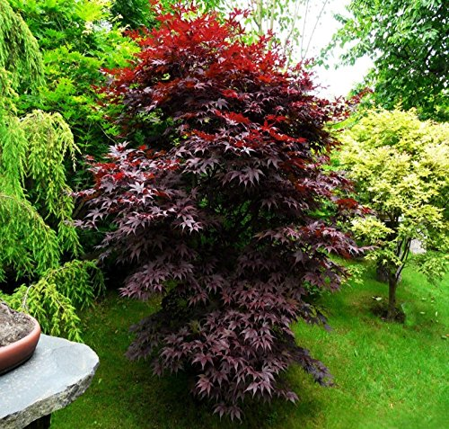 Japoneses'Bloodgood' Semillas de arce árbol bonsai Patio Paisaje 25 semillas