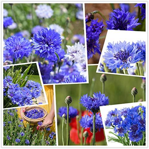 Confezione da 2000 semi di semi blu fiordaliso/celeste