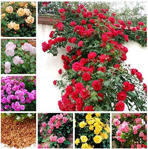 Portal Cool 100 Pcs Bolsa rosales trepadores Semillas Semillas de flor china de Jardines Bonsai S