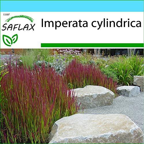 SAFLAX - Geschenk Set - Gräser-Bambus-Japanisches Blutgras - 50 Samen - Mit Geschenk- / Versandbox, Versandaufkleber, Geschenkkarte und Anzuchtsubstrat - Imperata cylindrica