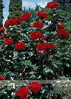 1 Professional Pack, 50 seeds / pack, New Dark Red Climbing Rose Plant Seed, Strong Fragrant Flowers
