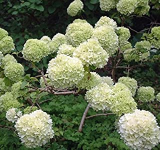 Chinese Snowball bush (viburnum macrocephalum) - Live Plant - Full Gallon Pot