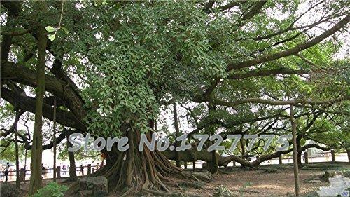 2015 graines 50pcs Haute Qualité Ficus microcarpa rares Graines d'arbres Expédition gratuite 49%