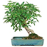 "Brussel's Live Hawaiian Umbrella Indoor Bonsai Tree in Water Pot - 5 Years Old; 8"" to 12"" Tall"