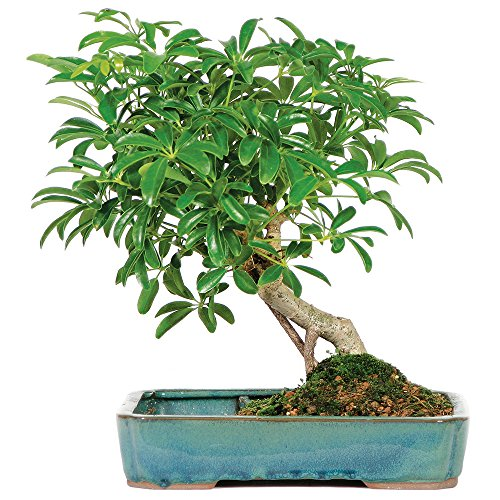 Brussel's Live Hawaiian Umbrella Indoor Bonsai Tree in Water Pot - 5 Years Old; 8' to 12' Tall