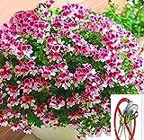 Kisshes Seeds- Semillas de Geranio,Nueva Flor Adorable Agradable fragantes Flores Geranio Semillas