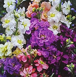 Stock 'Mixed Colours' seeds - Matthiola incana annua