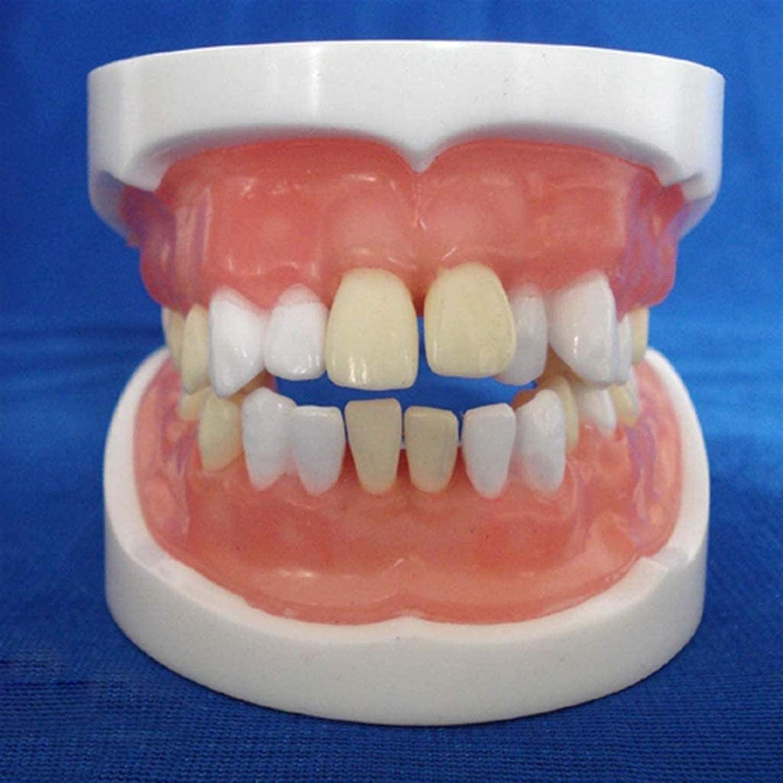 Ranking TOP9 ZLF Dental Teeth Anatomical Model A - Medical Bargain Oral