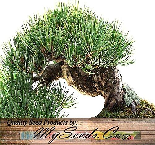 (20) Rocky Mountain Bristlecone Pine Tree Seed - Pinus aristata Bonsai