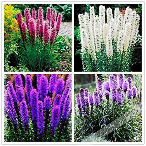 GETSO 100pcs / Gayfeather (Prachtscharte) Samen Bonsai Pflanze Blume für Hausgarten M