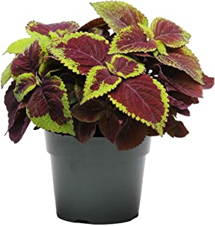 Coleus Rainbow Mix 875 Seeds or 1/4 Gram - Color Red Purple Green Leaves, Full Shade Plants Wildflower Seeds Non GMO, Houseplant Seeds, Garden Flower Seed Packets, Annual Flower Seeds
