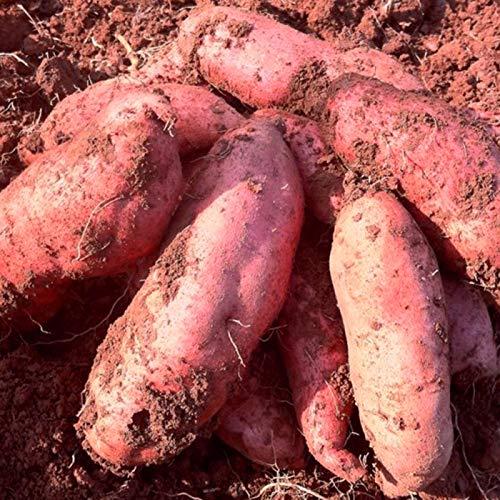 puran 1 Sacchetto di Semi di Patate Dolci - Semi Rustici Facili da Produrre Semi Freschi di Piante Domestiche Pronti per La Semina All'aperto, Fai Crescere Il Tuo Giardino Semi di Patata Dolce