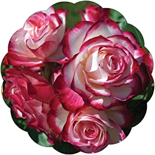 cheap rose bushes for sale