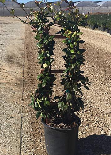 Confederate Jasmine with Trellis - Live Plant in a 3 Gallon Pot - Trachelospermum Jasminoides - Tough Low-Maintenance Vine