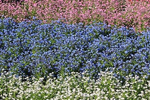 Vergissmeinnicht - weiße, blaue und rosafarbene Samen von 3 blühenden Pflanzensorten - 3 Samenpakete