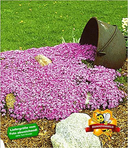 BALDUR Garten Teppichphlox 'Emerald Pink', winterharter Bodendecker 3 Pflanzen Phlox subulata Polsterphlox Polster-Flammenblume Polsterstauden Moosphlox mehrjährig Phlox subulata