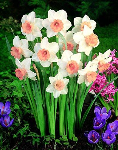 50 Samen / Beutel, Weiß, Gelb, Narzisse Pflanzensamen Blumensamen, Großpackung, Haus Bonsai Lent Lily Blume KK013