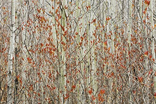 Spring Buds Against Birch Trees; Hymers, Ontario, Canada Poster Print (38 x 24)