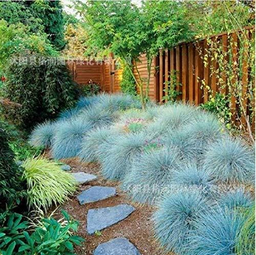 SANHOC 100pcs Festuca Glauca Perennial Gras Bonsai Seed Pflanze Garten Inneneinrichtungen Rare