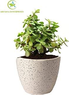 ARYANA ENTERPRISES Lucky Jade Plant with Round Pot
