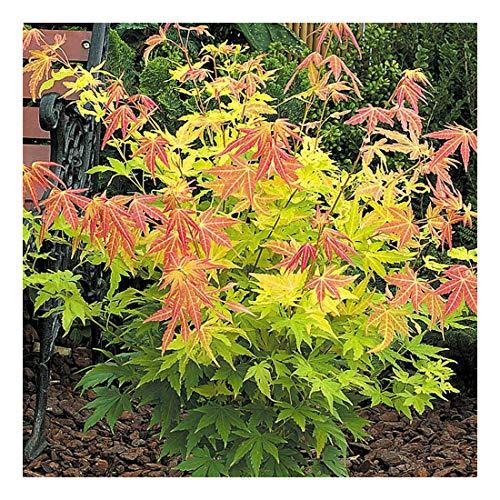 Acer palmatum Orange Dream, Japanese Maple Plant in 3Ltr Pot