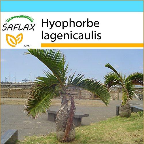 SAFLAX - Geschenk Set - Flaschenpalme/Faßpalme - 3 Samen - Hyophorbe lagenicaulis