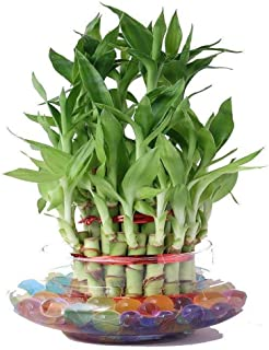 Guuchuu 3 Layers Lucky Bamboo Plant Indoor in Glass Pot (3 Layer Bamboo) with Multi Color jelly