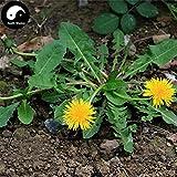 Samen-Paket Nicht Pflanzen: Stück: Kaufen Sie EIN Taraxaci Samen mongolische DandeFor Pu Gong Ying Seed
