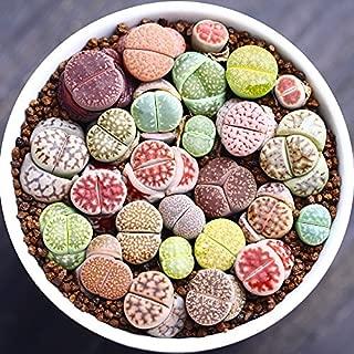 Live Fat Succulent Plant Mini Succulents Colorful Lithops Gow Fast 10 PCS Collection (0.15