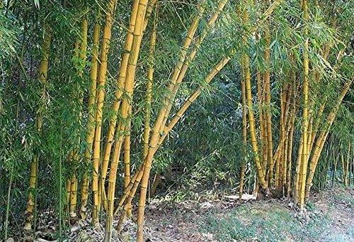 D'énormes 80 graines/paquet pubescens géant Phyllostachys Moso graines de bambou rustiques -Giant 3