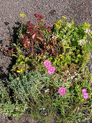 Pflanzensortiment Steinrosenflur für 5 m²