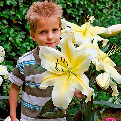 Soteer Garten - Duftend Tree-Lily Samen Riesen-Lilien Lilienblumen Baumlilien Lilium Hybride Lilien Saatgut mehrjährig winterhart für Garten Balkon/Terrasse (10 Stück)