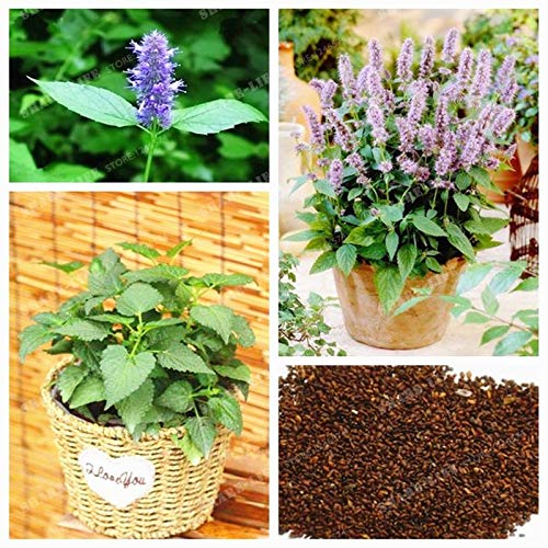 Ferry Agastache Rugosa Bonsai Rare PatchouliBlue Licorice Bonsai Indian Mint Lila Riesen Ysop Bonsai Für Privatanwender Garden100 Pcs