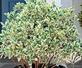 Silver King Euonymus Shrub (1 Gallon) - Glossy Evergreen Leaves with Silvery White Edges, Drought, Heat and Cold Tolerant!