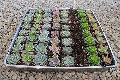 Jiimz 40 Succulent Rosette Collection