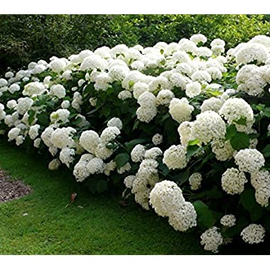 Annabelle Smooth Hydrangea - Live Plant - Quart Pot