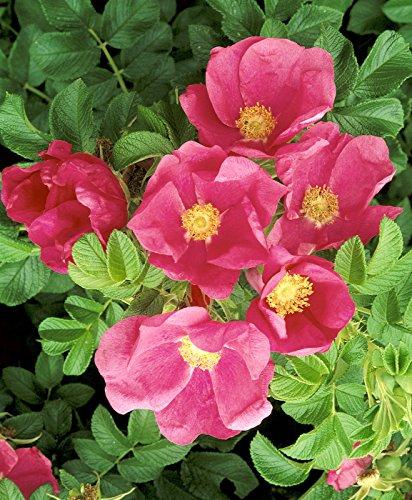 'Dagmar Hastrup', Kleinstrauchrose (Rosa rugosa Hybride) im 4 Liter Container