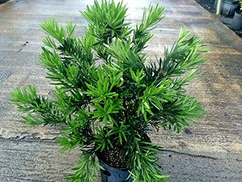 FERRY Bio-Saatgut Nicht nur Pflanzen: Podocarpus macrophyllus 'Pringles', Japanische Eibe - 100 Seeds Glon