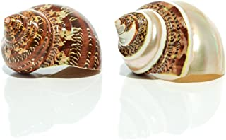 Nautical Crush Trading Hermit Crab Home Turbo Shell | 1 Brown and 1 Banded Petholatus Polished Turbo Shells | 2 Turbo Shells 2-2.5