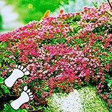 TOMASA Seedhouse- 100 pcs Tomillo de escalada, Cobertura del suelo Flor Arena Tomillo Flores perfumadas Planta Semilla resistente Flores perennes Apta para el jardín de su casa, jardín de rocas