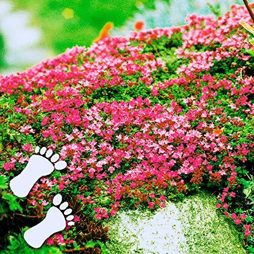 Tomasa Samenhaus- 100 Stück Polsterthymian Kletter-Thymian,Bodendecker-Blume Sand Thymian Duftend Blumen Pflanzen Saatgut winterhart mehrjährig Blumen bienenfreundliche für Hausgarten,Steingarten