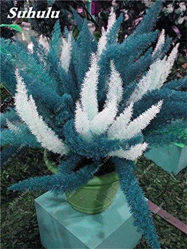Couleur rares sétaire Seeds 60 Pcs sétaire Ferns Bonsai Balcon vivace fleur Plantation intérieur Plantes ornementales Lanscape Semences à gazon 3